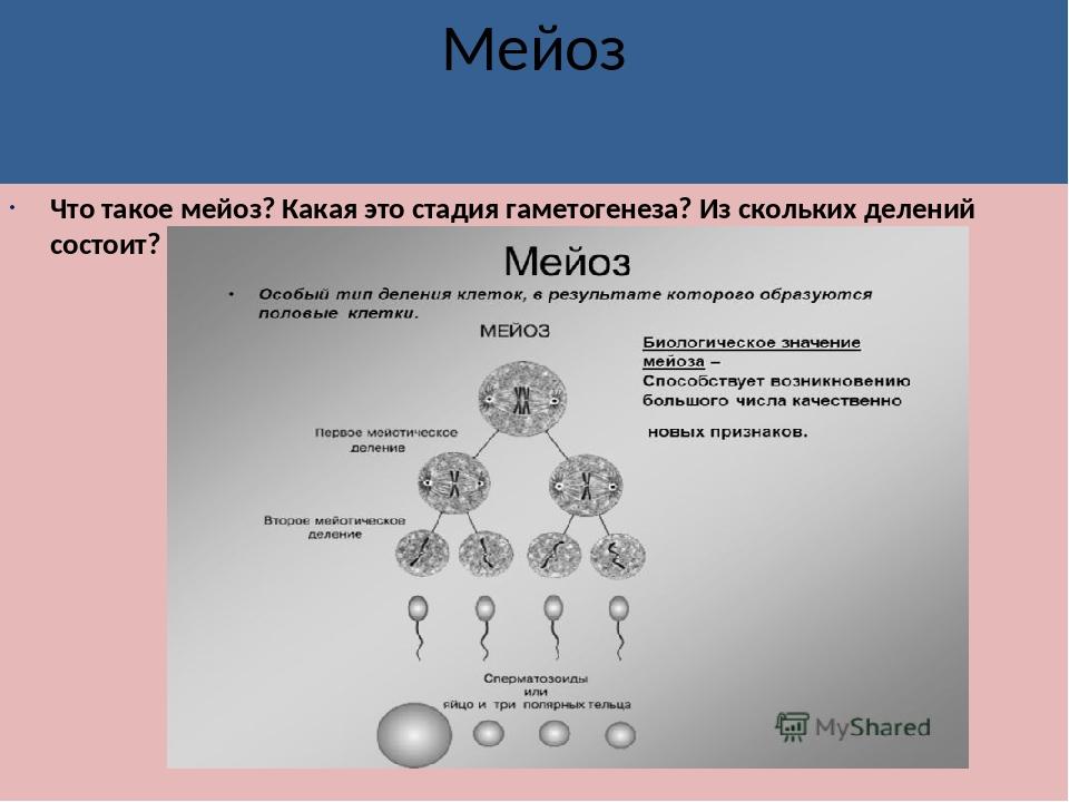 Мейоз Что такое мейоз? Какая это стадия гаметогенеза? Из скольких делений сос...