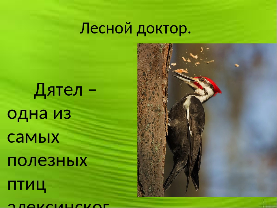 Лесной доктор. Дятел – одна из самых полезных птиц алексинского района. Она п...