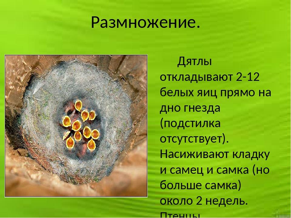 Размножение. Дятлы откладывают 2-12 белых яиц прямо на дно гнезда (подстилка...