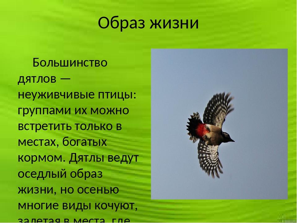 Образ жизни Большинство дятлов — неуживчивые птицы: группами их можно встрети...