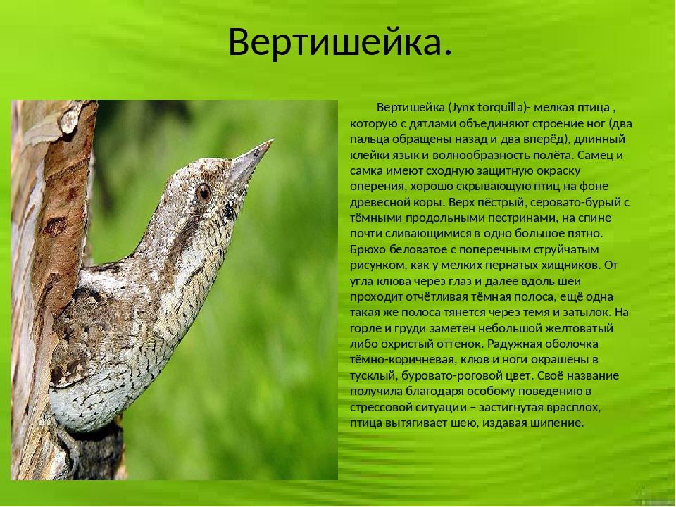 Вертишейка. Вертишейка (Jynx torquilla)- мелкая птица , которую с дятлами об...