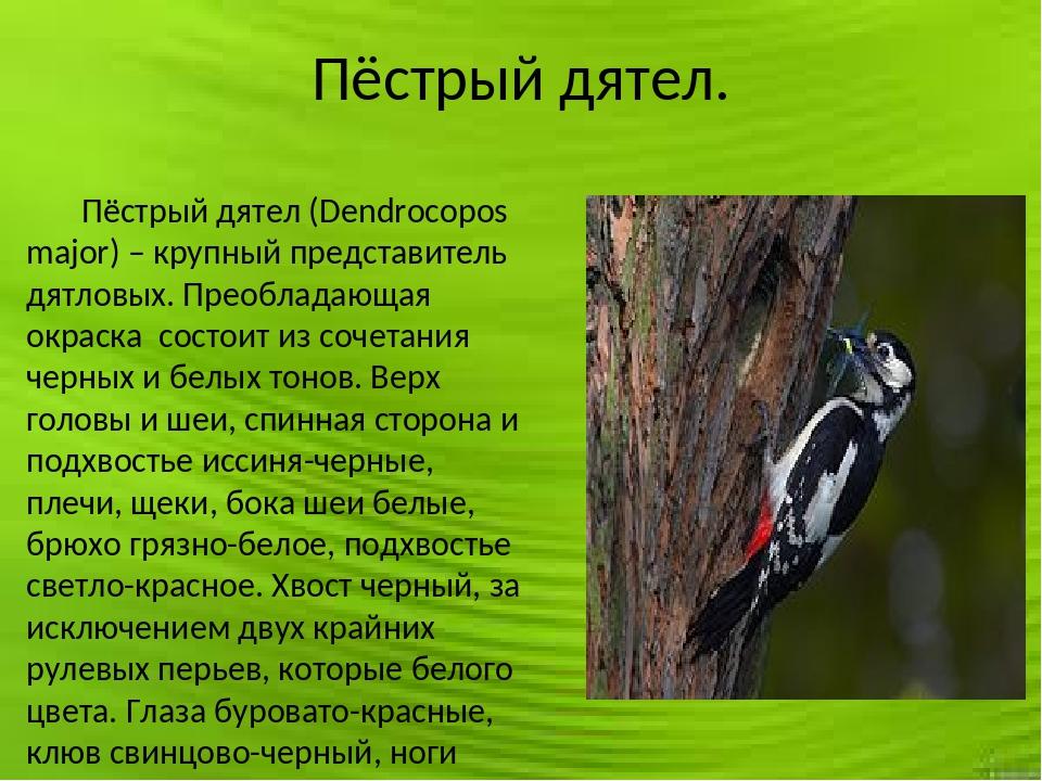 Пёстрый дятел. Пёстрый дятел (Dendrocopos major) – крупный представитель дятл...