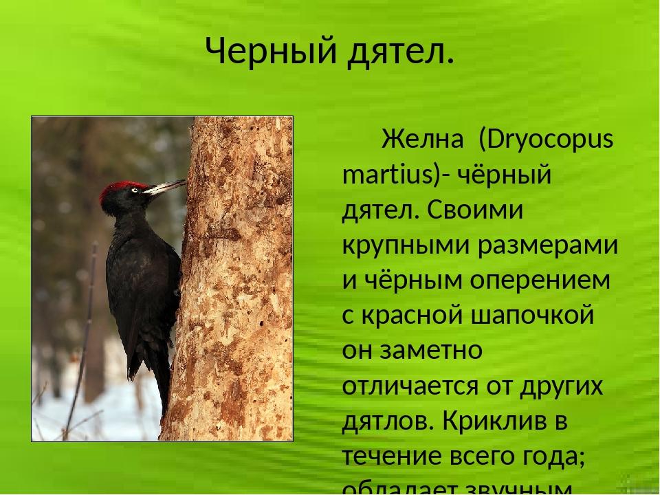 Черный дятел. Желна (Dryocopus martius)- чёрный дятел. Своими крупными размер...