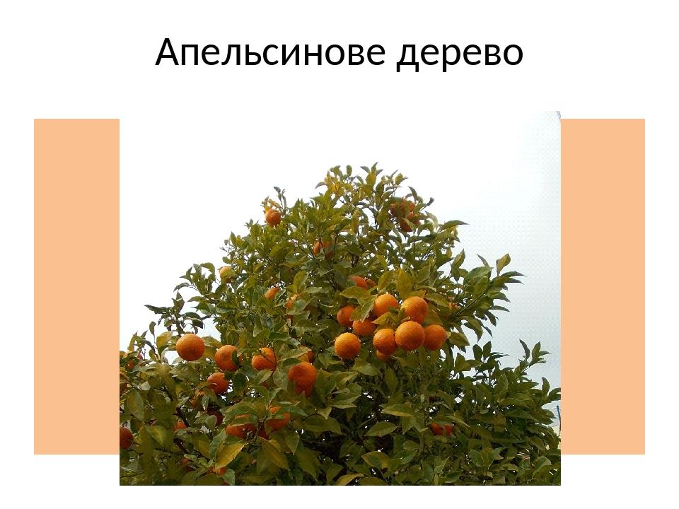 Апельсинове дерево