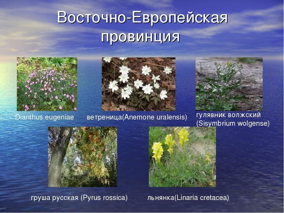 Восточно-Европейская провинция ветреница(Anemone uralensis) Dianthus eugeniae...