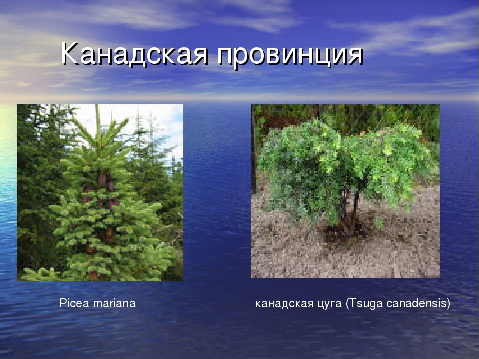 Канадская провинция канадская цуга (Tsuga canadensis) Picea mariana