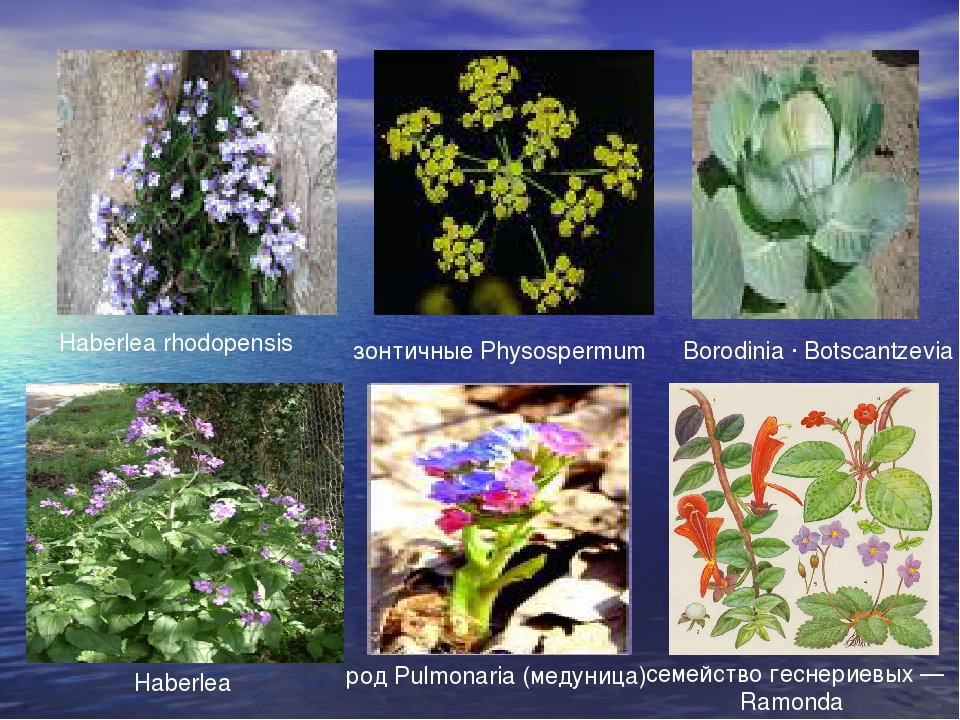 Borodinia · Botscantzevia Haberlea rhodopensis зонтичные Physospermum род Pul...