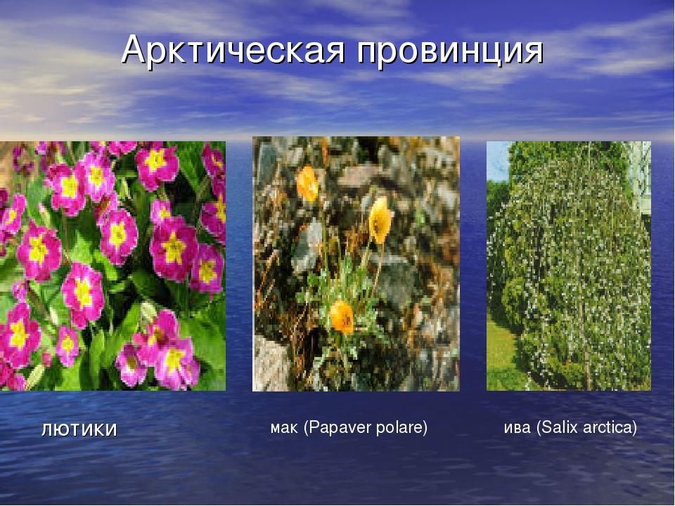 Арктическая провинция лютики мак (Papaver polare) ива (Salix arctica)
