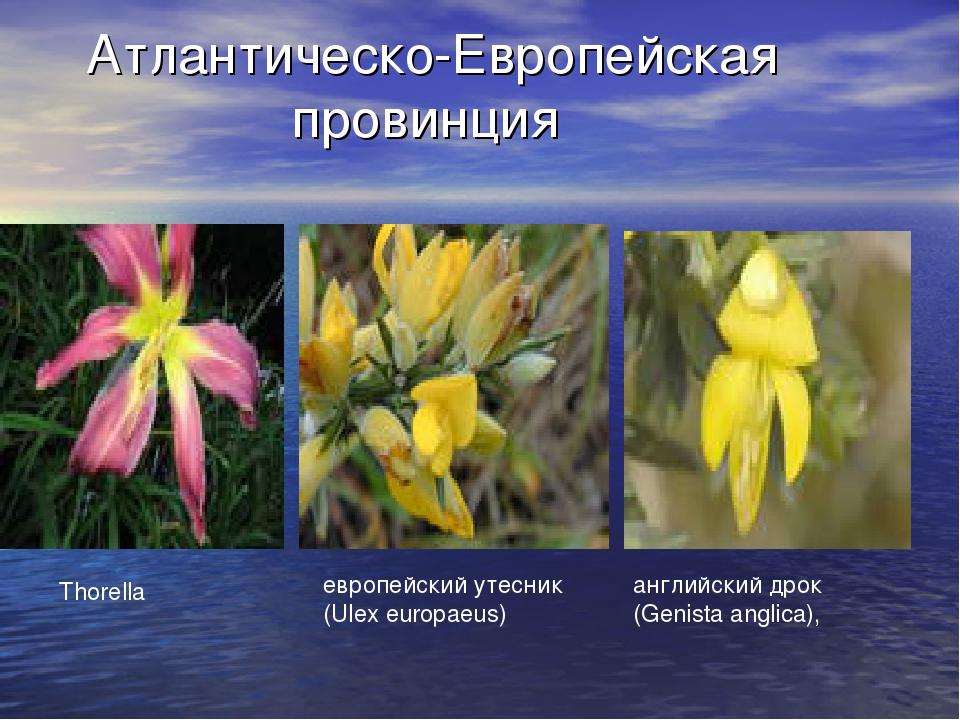 Атлантическо-Европейская провинция Thorella европейский утесник (Ulex europae...