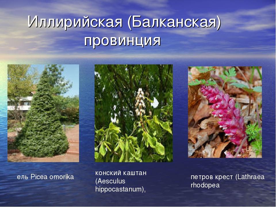 Иллирийская (Балканская) провинция ель Picea omorika конский каштан (Aesculus...