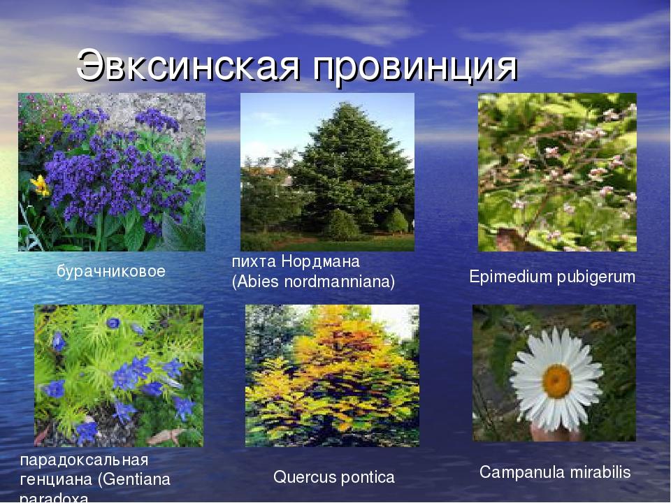 Эвксинская провинция бурачниковое пихта Нордмана (Abies nordmanniana) Epimedi...