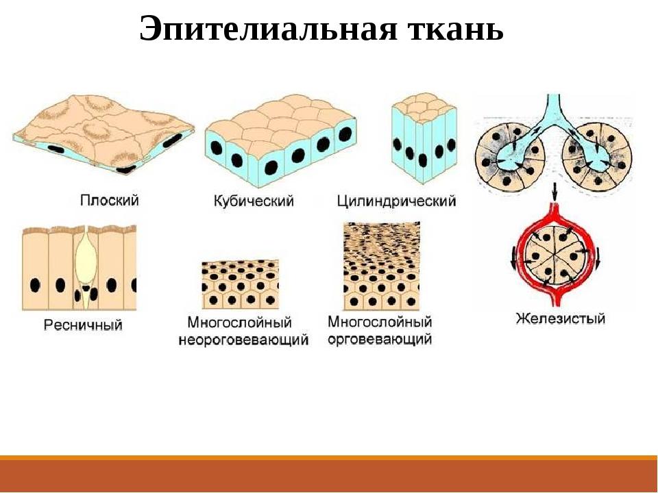 Эпителиальная ткань схематично под микроскопом