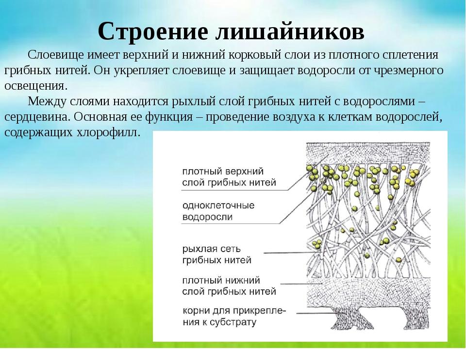 Строение лишайников Слоевище имеет верхний и нижний корковый слои из плотног...