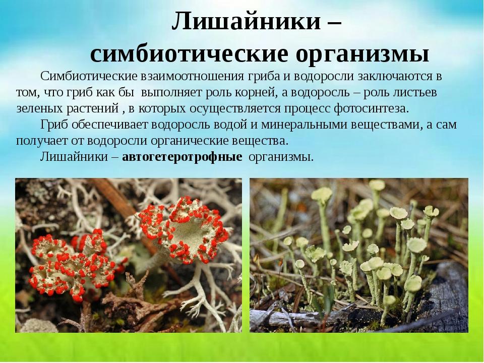 Лишайники – симбиотические организмы Симбиотические взаимоотношения гриба и...