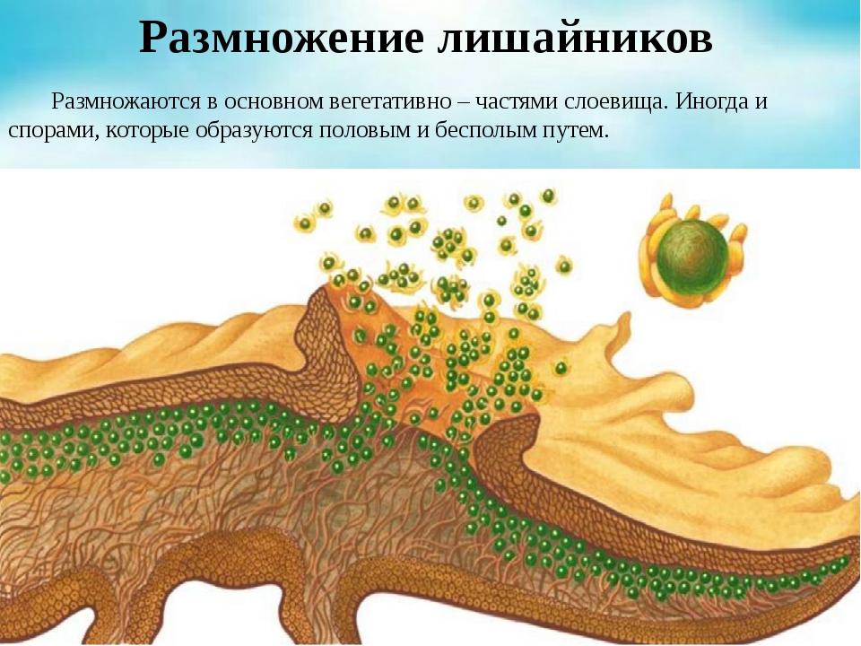 Размножение лишайников Размножаются в основном вегетативно – частями слоевищ...