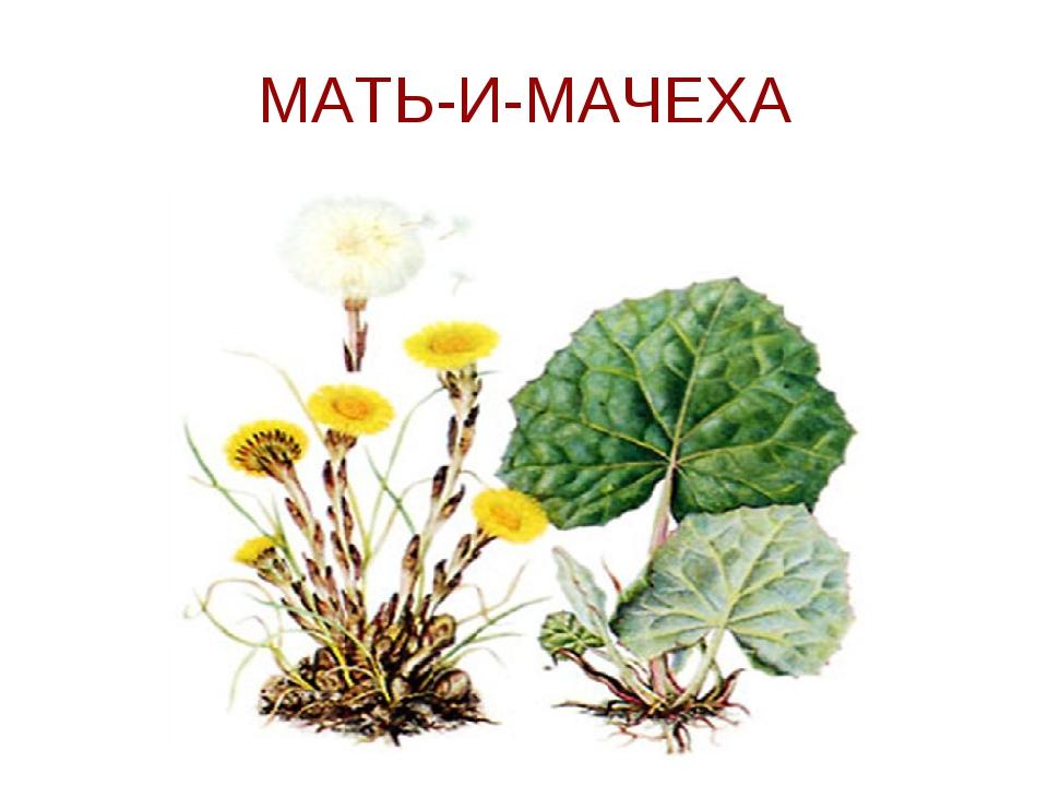 Рисунок мать-и-мачеха растение