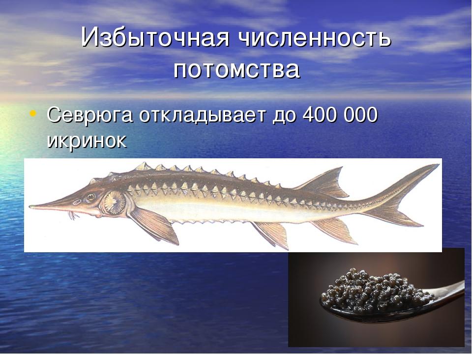 Избыточная численность потомства Севрюга откладывает до 400 000 икринок