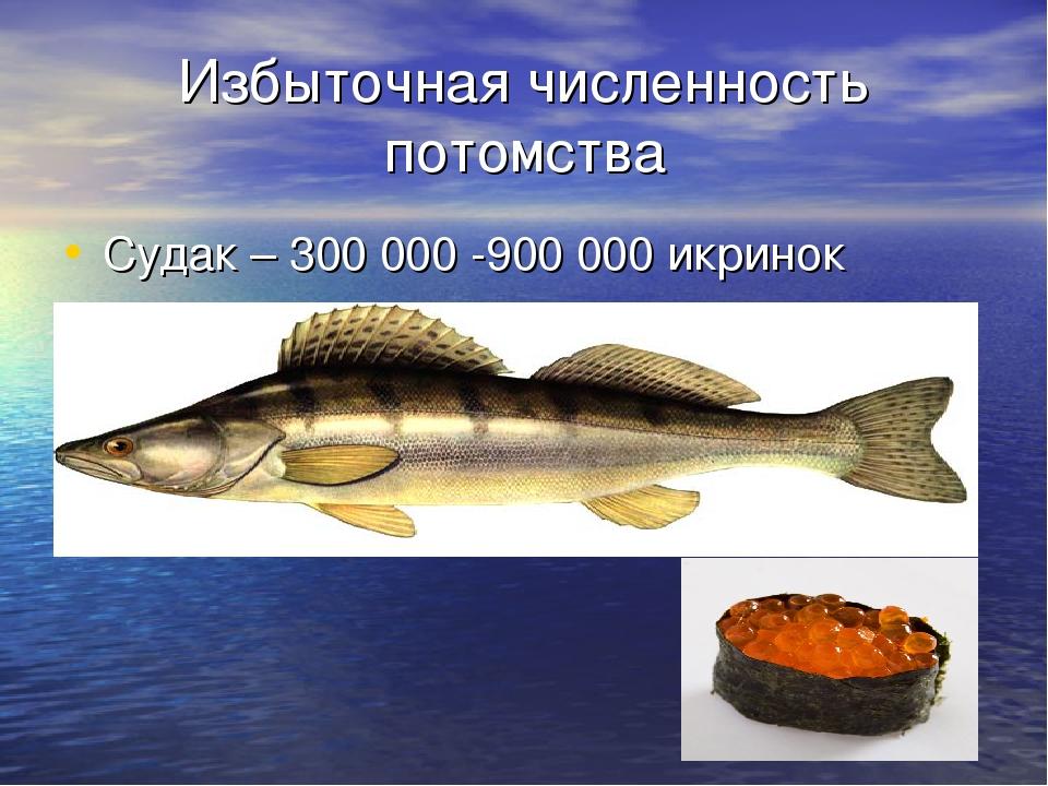 Избыточная численность потомства Судак – 300 000 -900 000 икринок