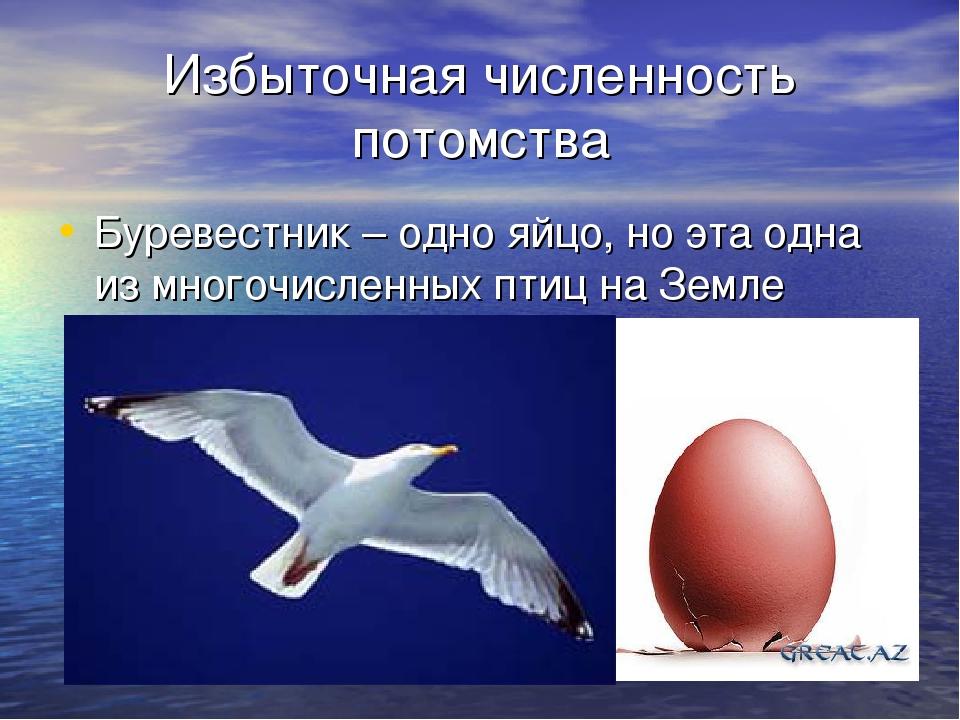 Избыточная численность потомства Буревестник – одно яйцо, но эта одна из мног...