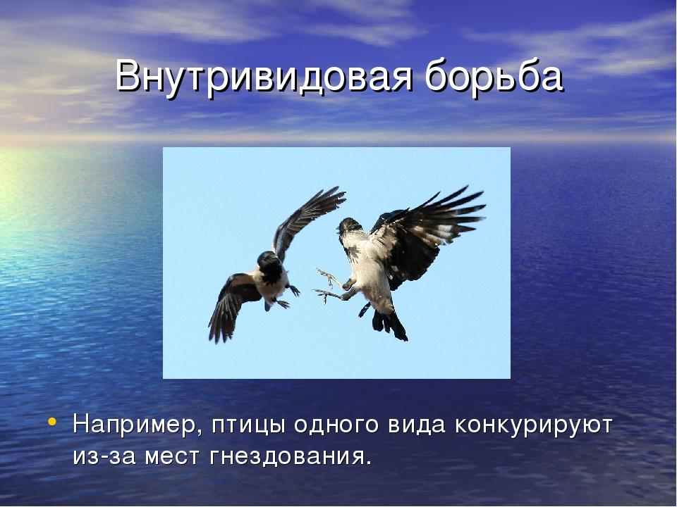 Внутривидовая борьба Например, птицы одного вида конкурируют из-за мест гнезд...