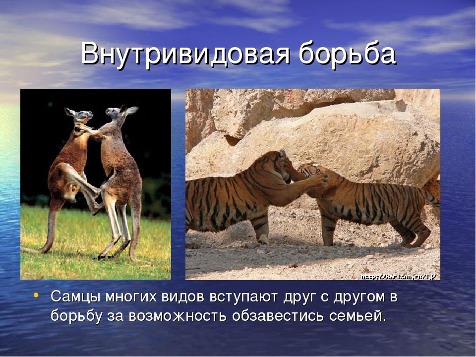 Внутривидовая борьба Самцы многих видов вступают друг с другом в борьбу за во...