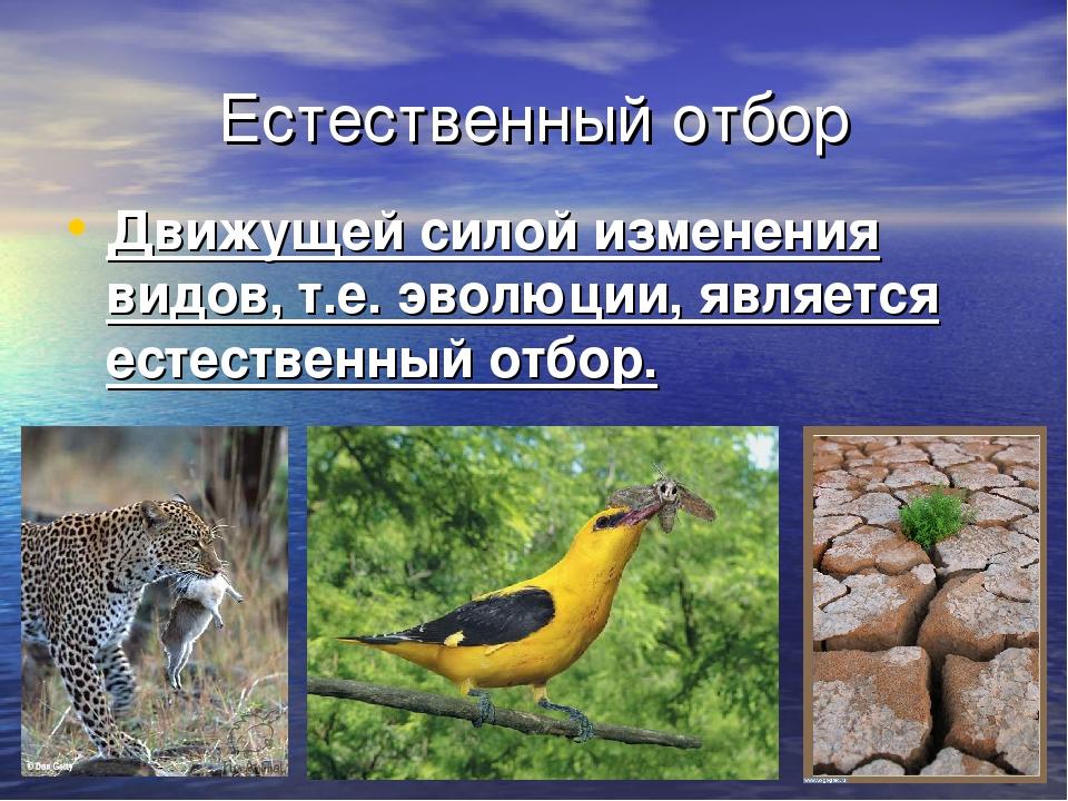Естественный отбор Движущей силой изменения видов, т.е. эволюции, является ес...