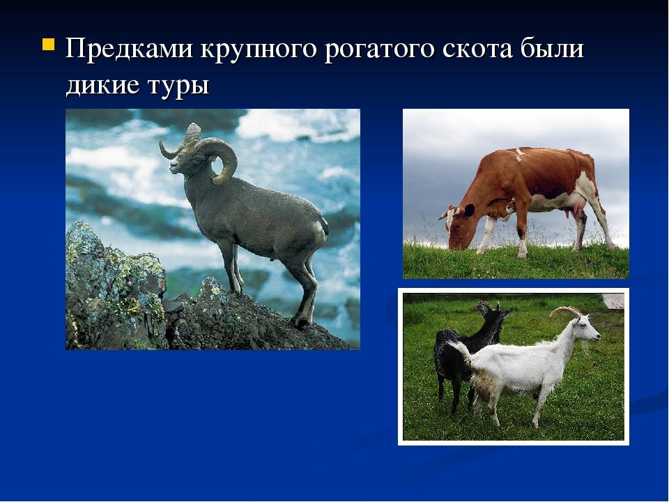 Предками крупного рогатого скота были дикие туры