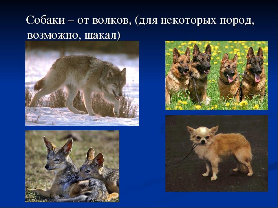 Собаки – от волков, (для некоторых пород, возможно, шакал)