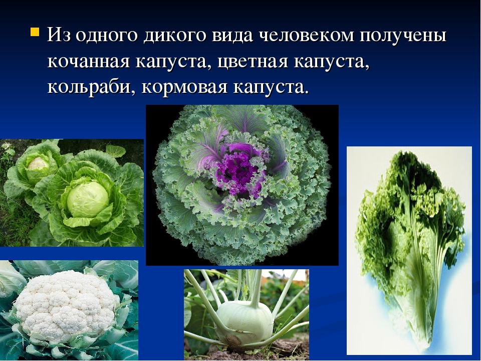 Из одного дикого вида человеком получены кочанная капуста, цветная капуста, к...