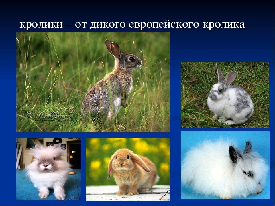 кролики – от дикого европейского кролика