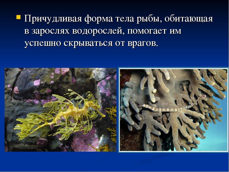 Причудливая форма тела рыбы, обитающая в зарослях водорослей, помогает им усп...