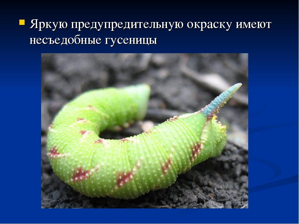 Яркую предупредительную окраску имеют несъедобные гусеницы