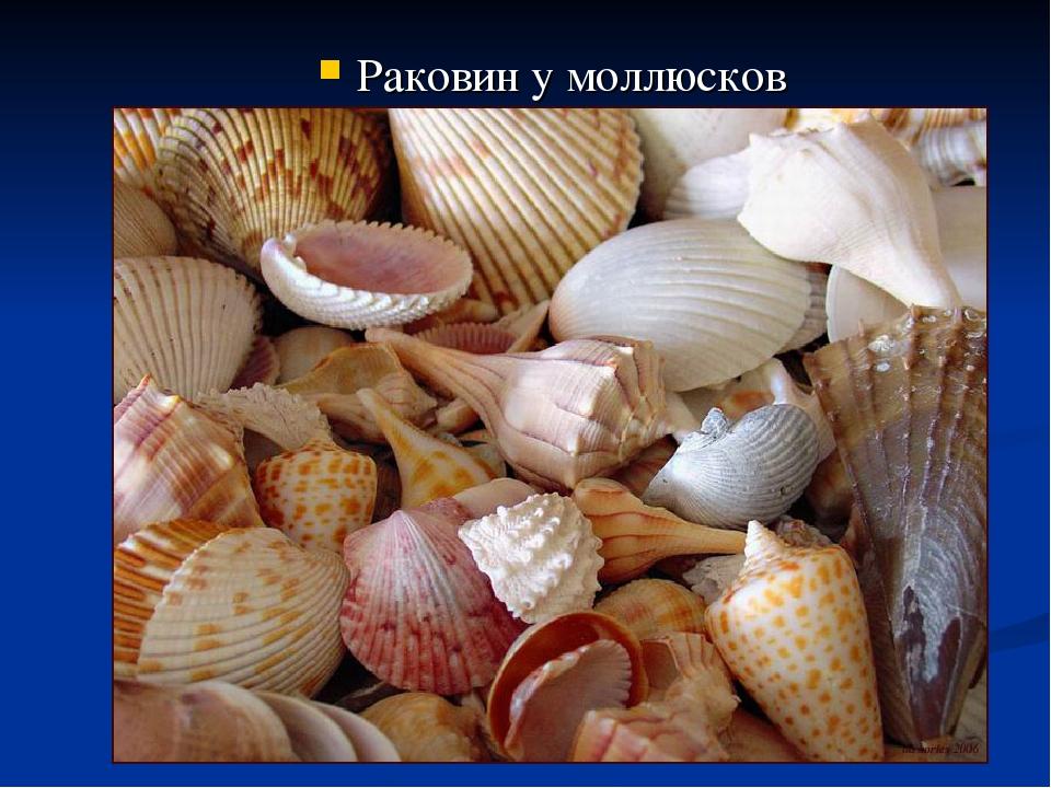 Раковин у моллюсков