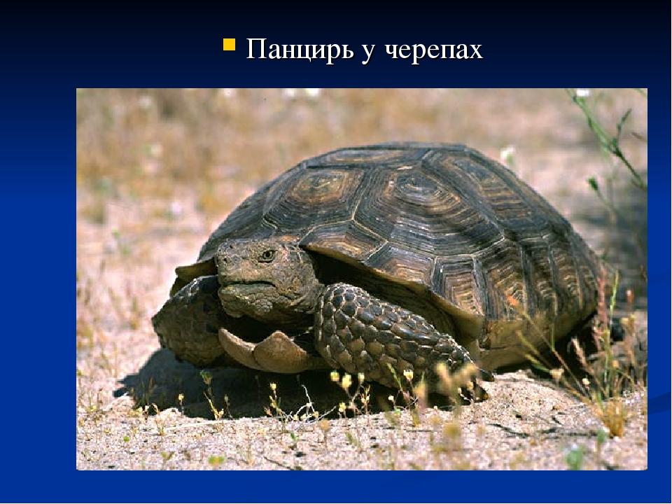 Панцирь у черепах