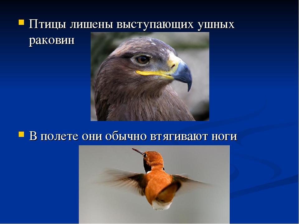 Птицы лишены выступающих ушных раковин В полете они обычно втягивают ноги