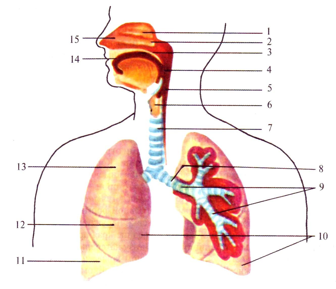 Картинка без подписей органы дыхания 4 класс