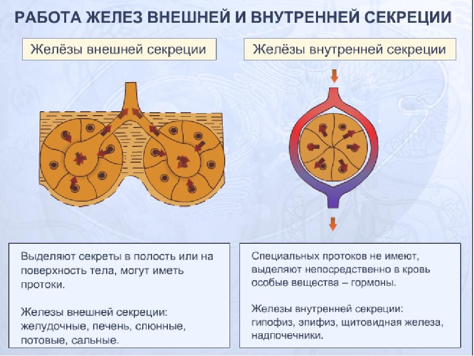 картинки желез внешней секреции при