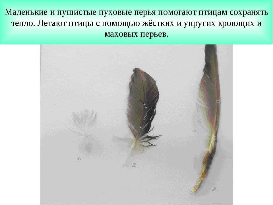 Маленькие и пушистые пуховые перья помогают птицам сохранять тепло. Летают пт...