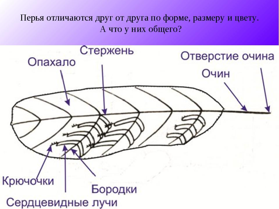 Перья отличаются друг от друга по форме, размеру и цвету. А что у них общего?