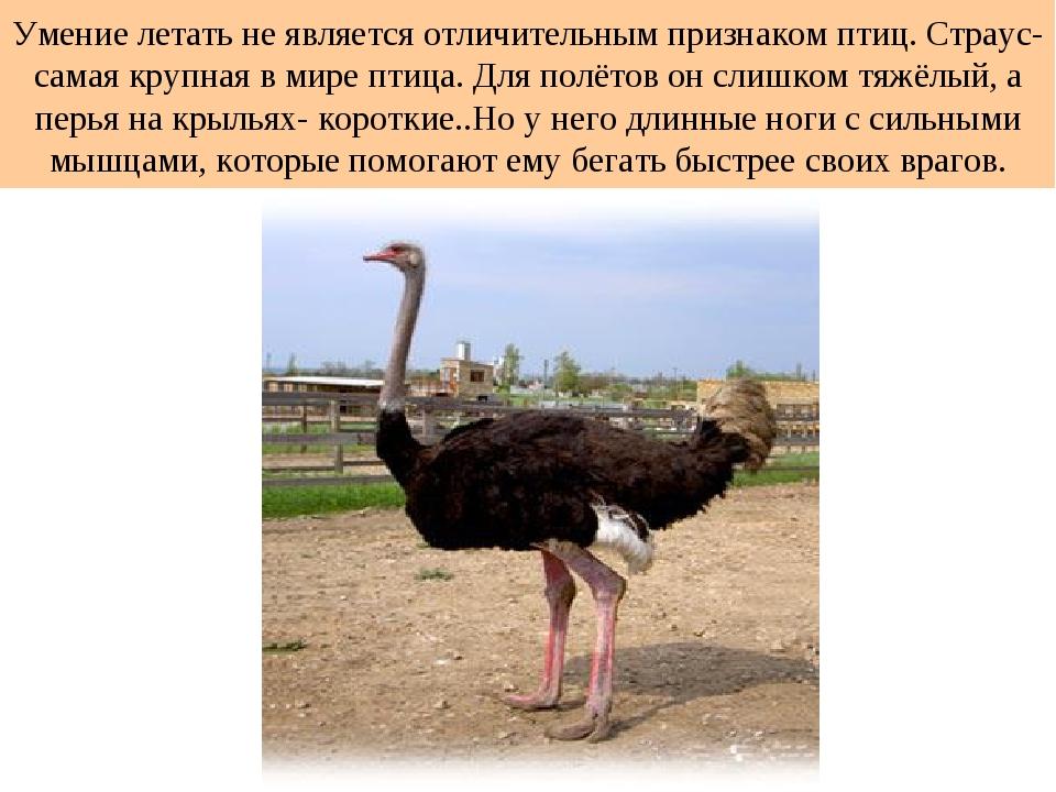 Умение летать не является отличительным признаком птиц. Страус- самая крупная...