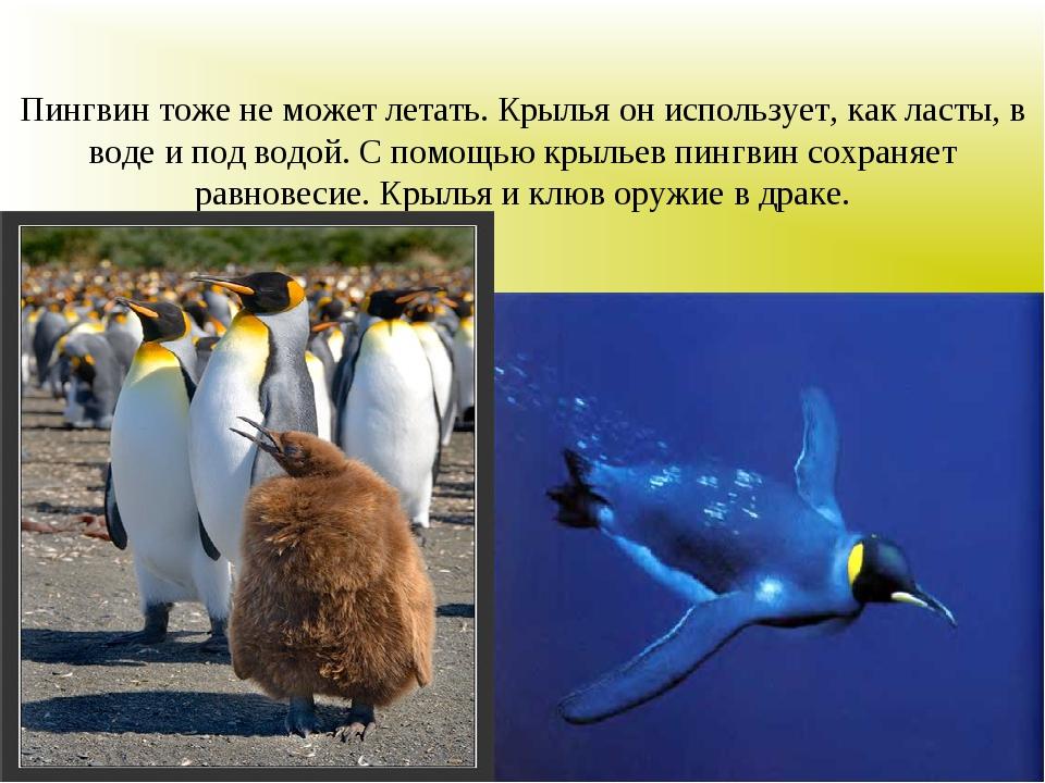 Пингвин тоже не может летать. Крылья он использует, как ласты, в воде и под в...