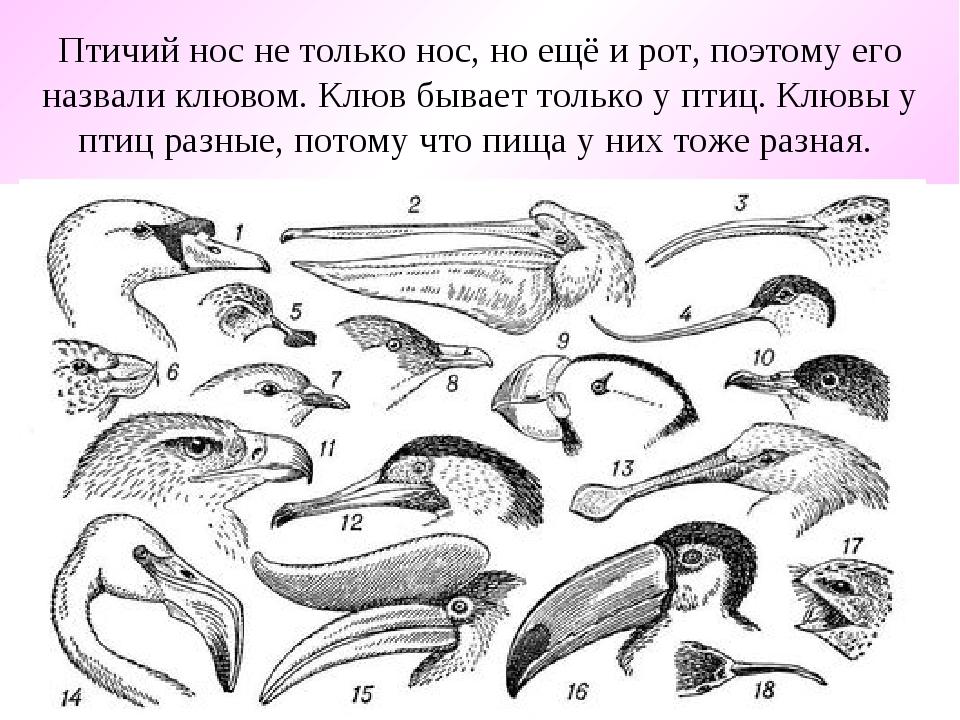 Птичий нос не только нос, но ещё и рот, поэтому его назвали клювом. Клюв быва...