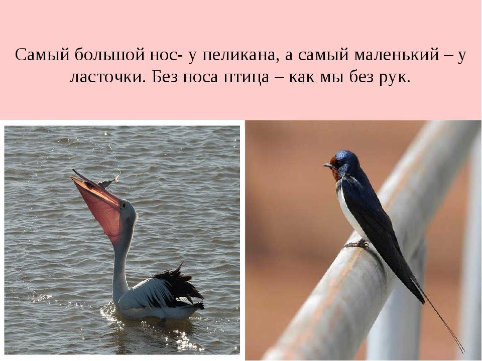 Самый большой нос- у пеликана, а самый маленький – у ласточки. Без носа птица...