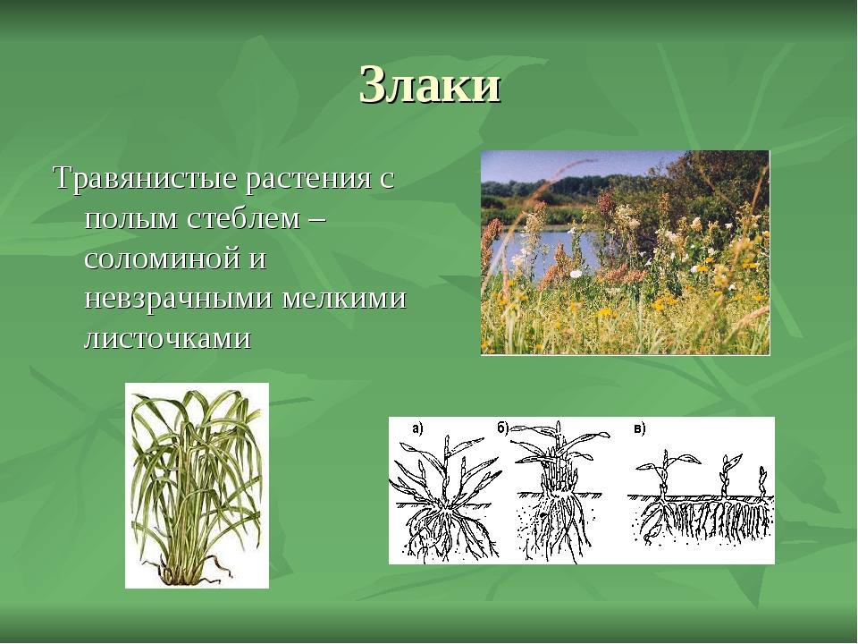 Злаки Травянистые растения с полым стеблем – соломиной и невзрачными мелкими...