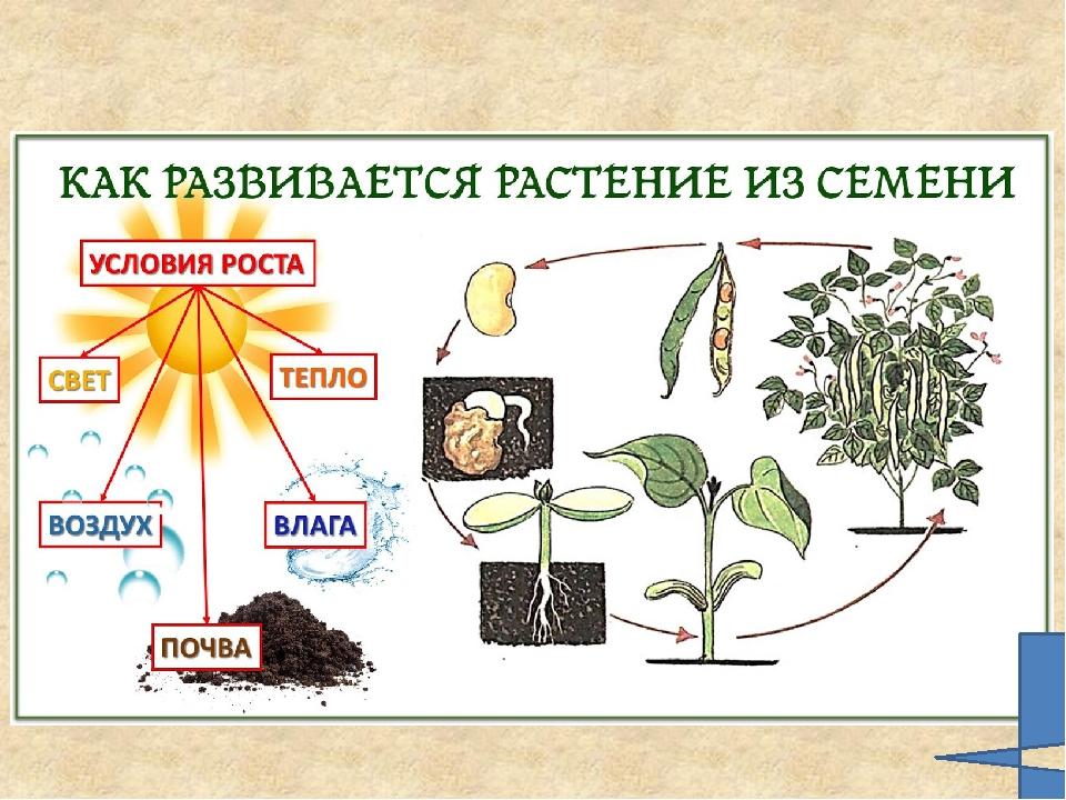 исключено, картинка как развивается растение из семени этот