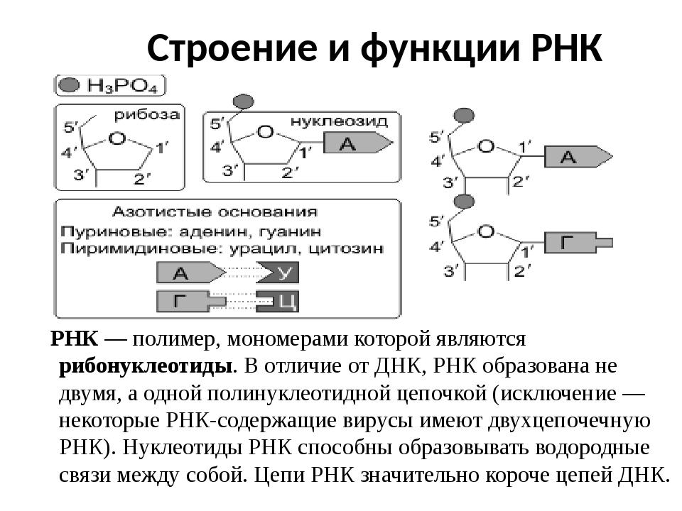 Строение и функции РНК РНК — полимер, мономерами которой являются рибонуклеот...