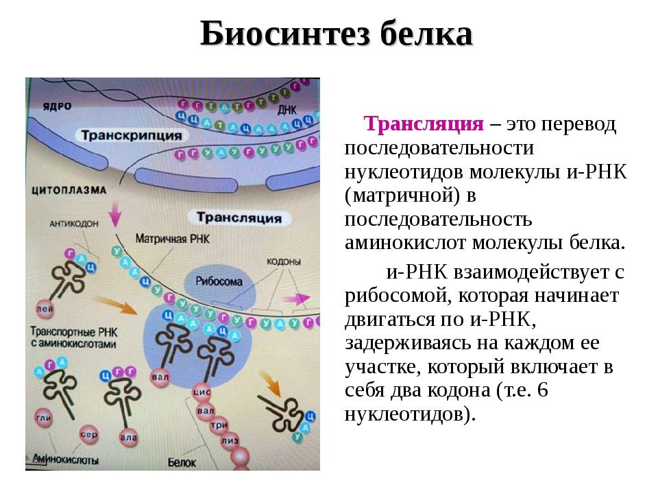 Биосинтез белка Трансляция – это перевод последовательности нуклеотидов моле...