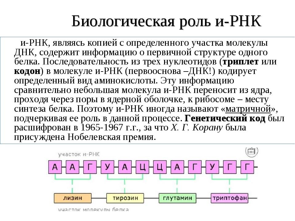 Биологическая роль и-РНК и-РНК, являясь копией с определенного участка молек...