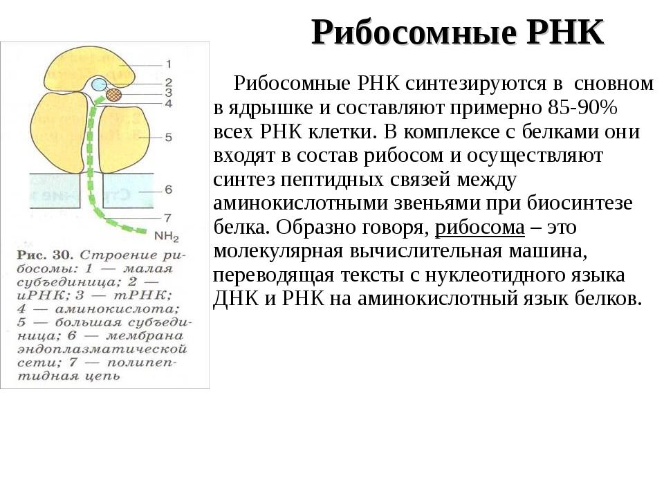 Рибосомные РНК Рибосомные РНК синтезируются в сновном в ядрышке и составляют...