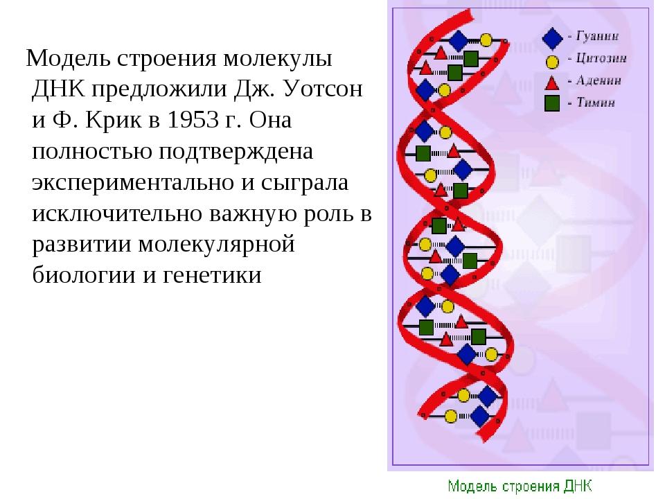 Модель строения молекулы ДНК предложили Дж. Уотсон и Ф. Крик в 1953 г. Она п...